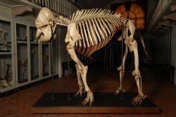 Type specimen for the Asian Elephant